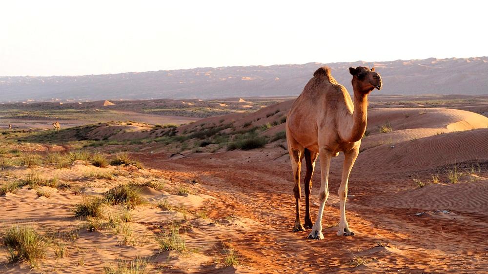 Kamel in der Wahiba-Sands-Wüste im Oman