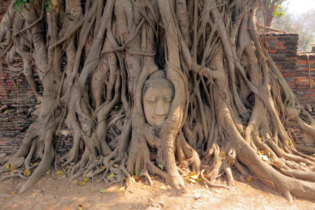 Verwachsener Buddhakopf im Wat Mathat in Ayutthaya
