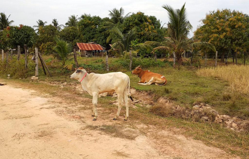 Kühe am Straßenrand im Hinterland von Kampot