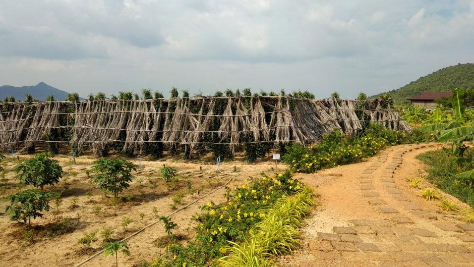 Pfefferanbau auf La Plantation Kampot