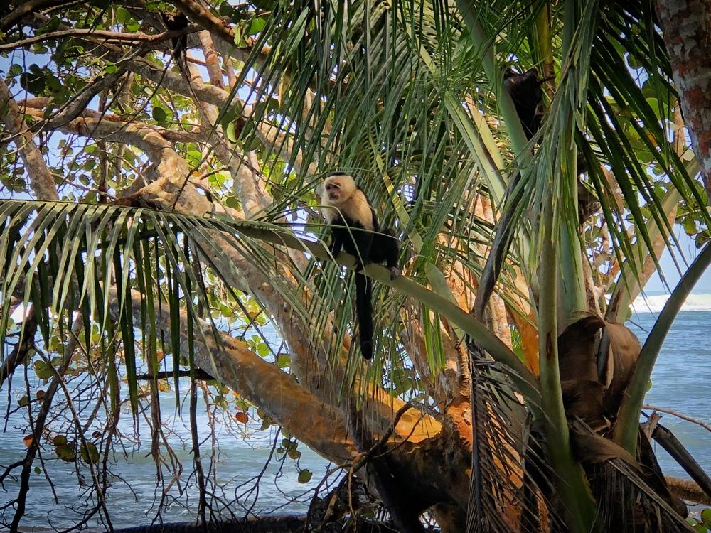 Affe in Cahuita