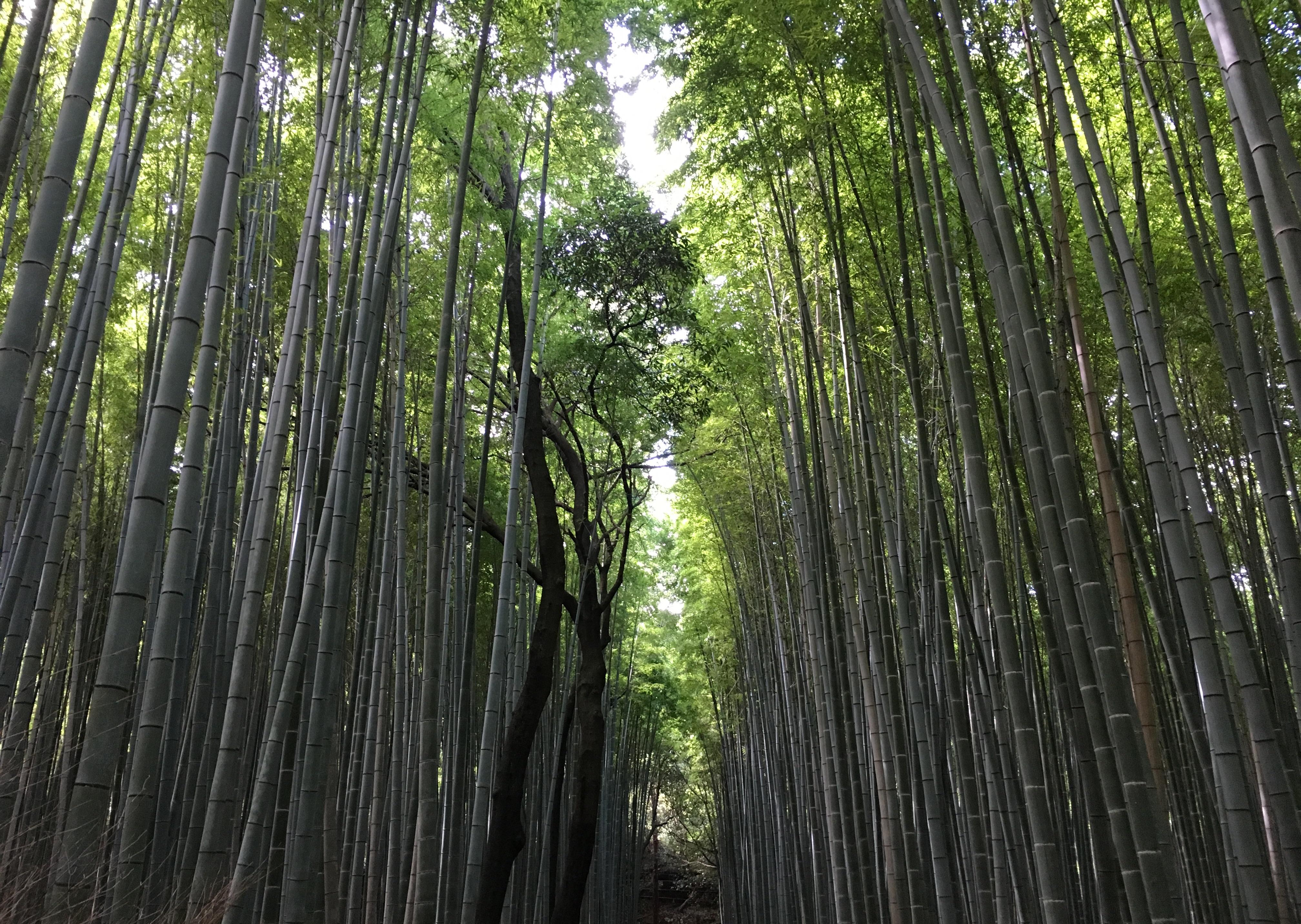 Bambuswald Schein - Kyoto