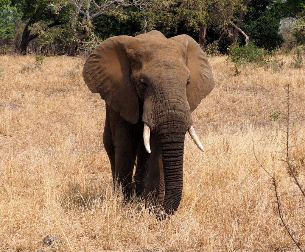 Elefant im Kruger NP