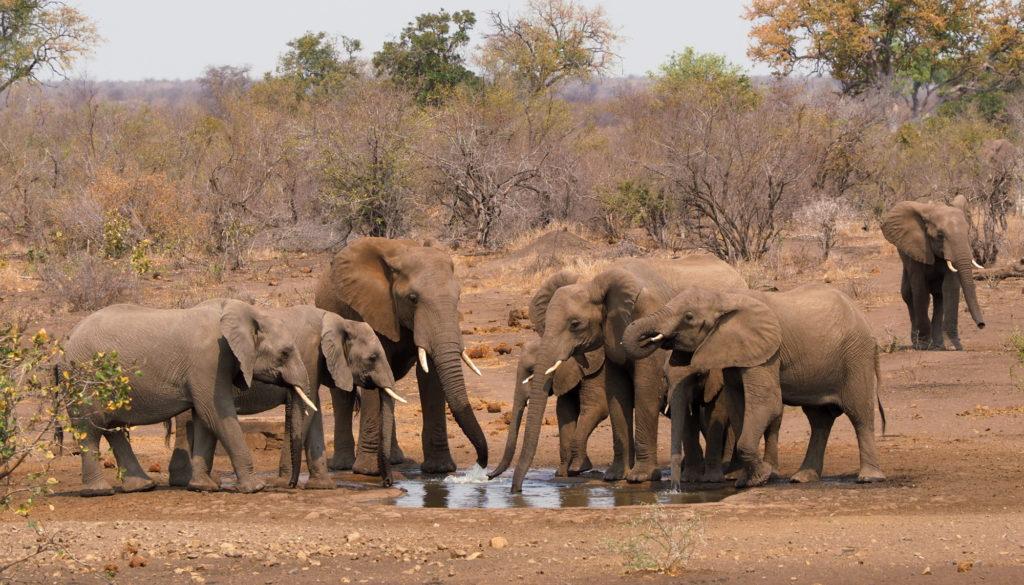 Elefantenherde an einem Wasserloch im Kruger National Park