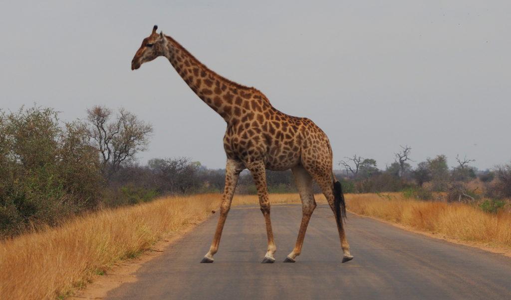 Giraffe überquert Straße im Kruger NP