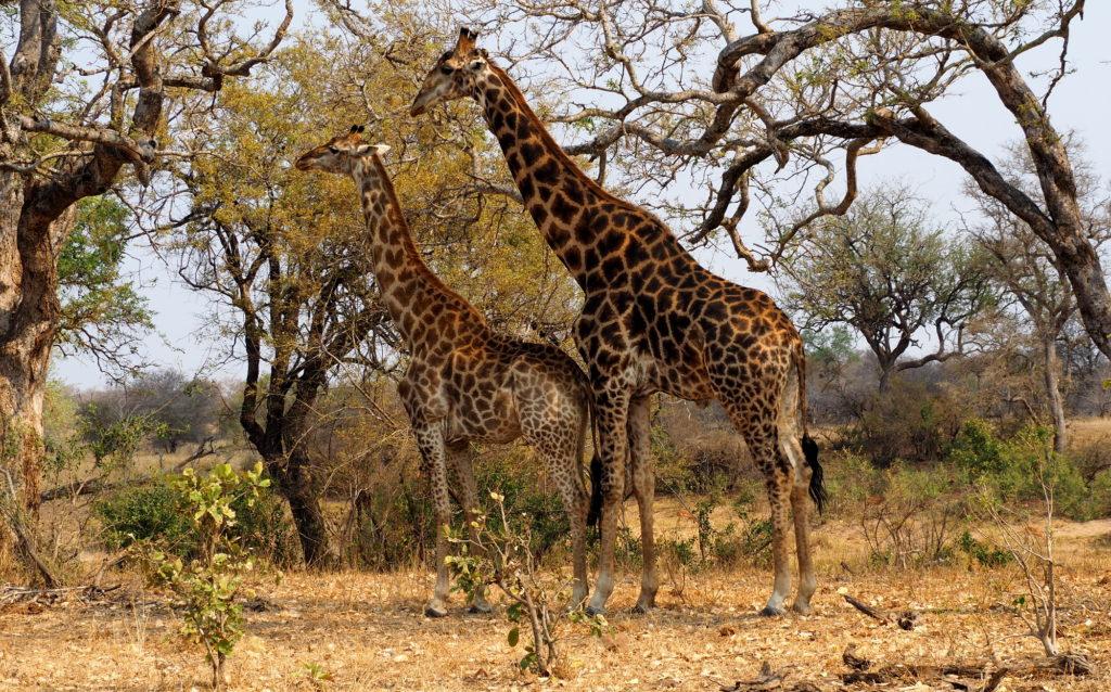 Giraffen im Kruger NP