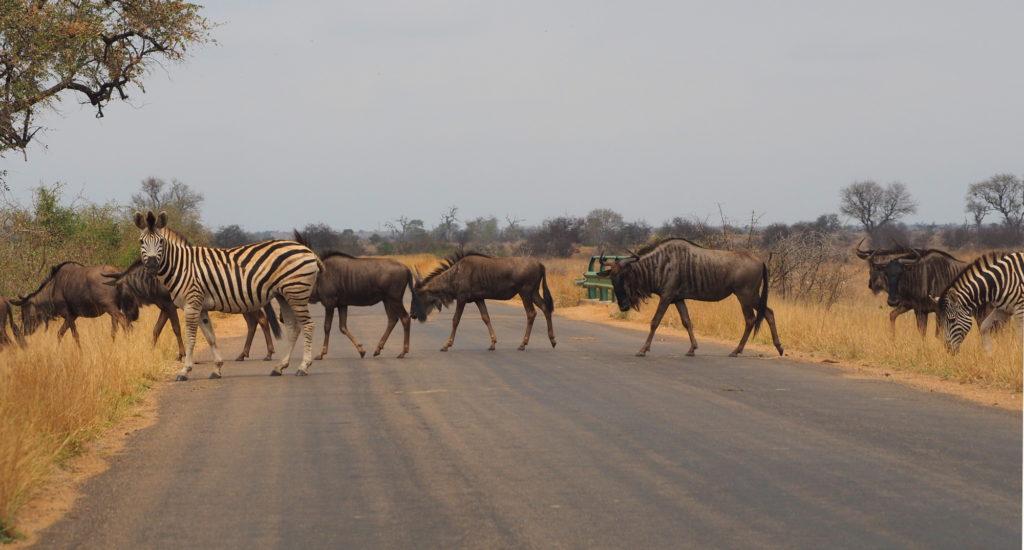 Gnus und Zebras im Kruger NP