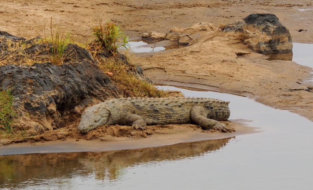Krokodil am Olifants River
