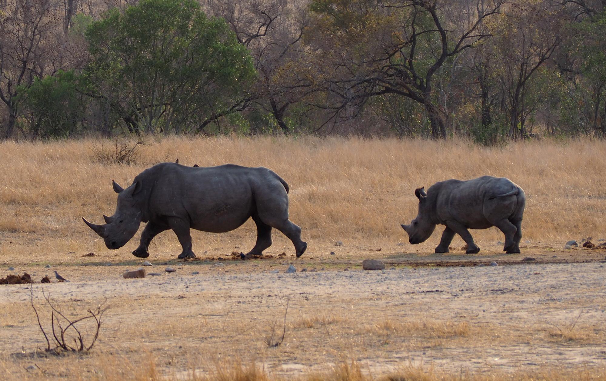 Nashorn mit Kind im Kruger NP