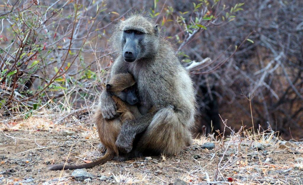 Paviane im Kruger NP