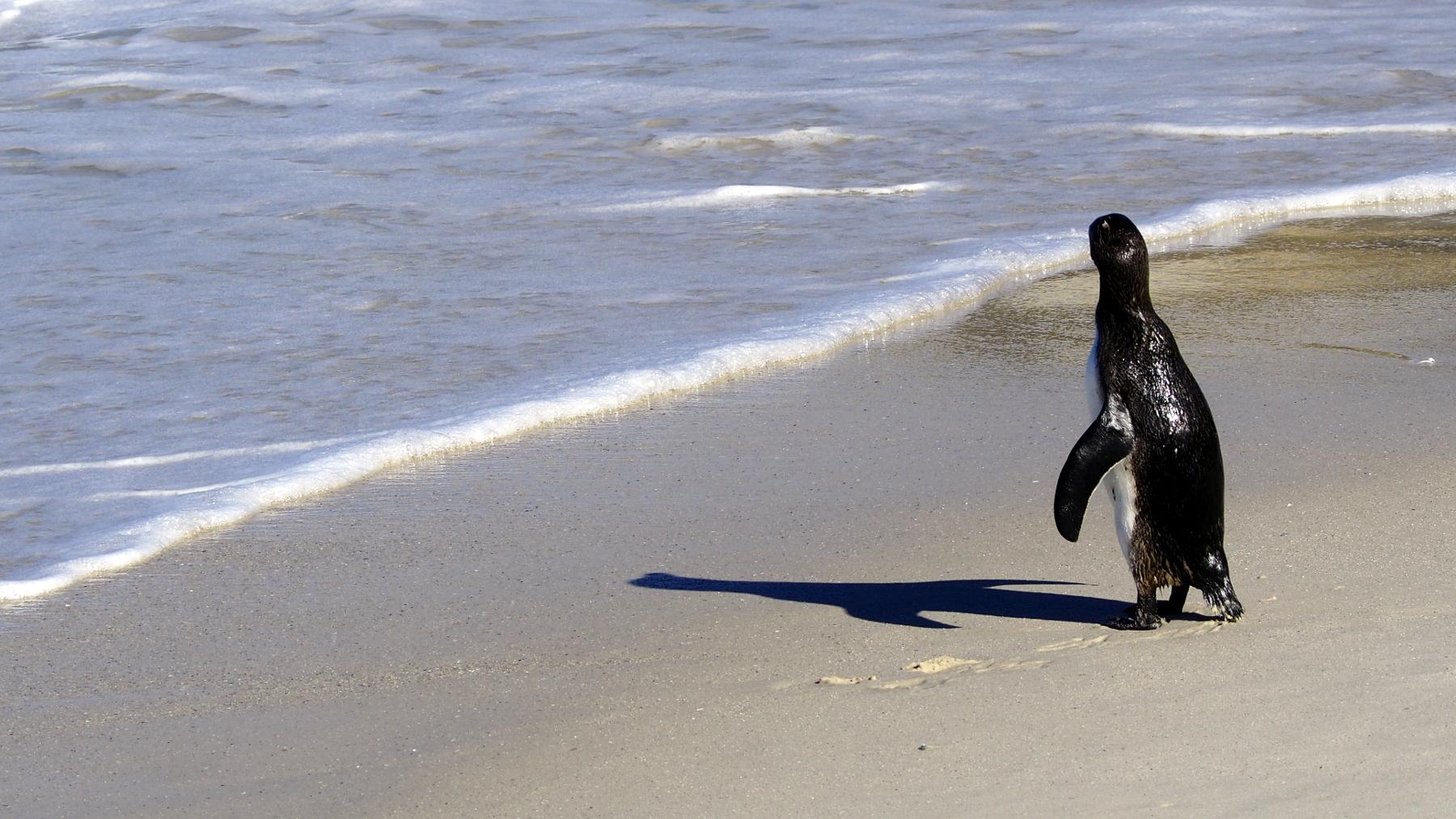 Pinguin schaut auf das Meer