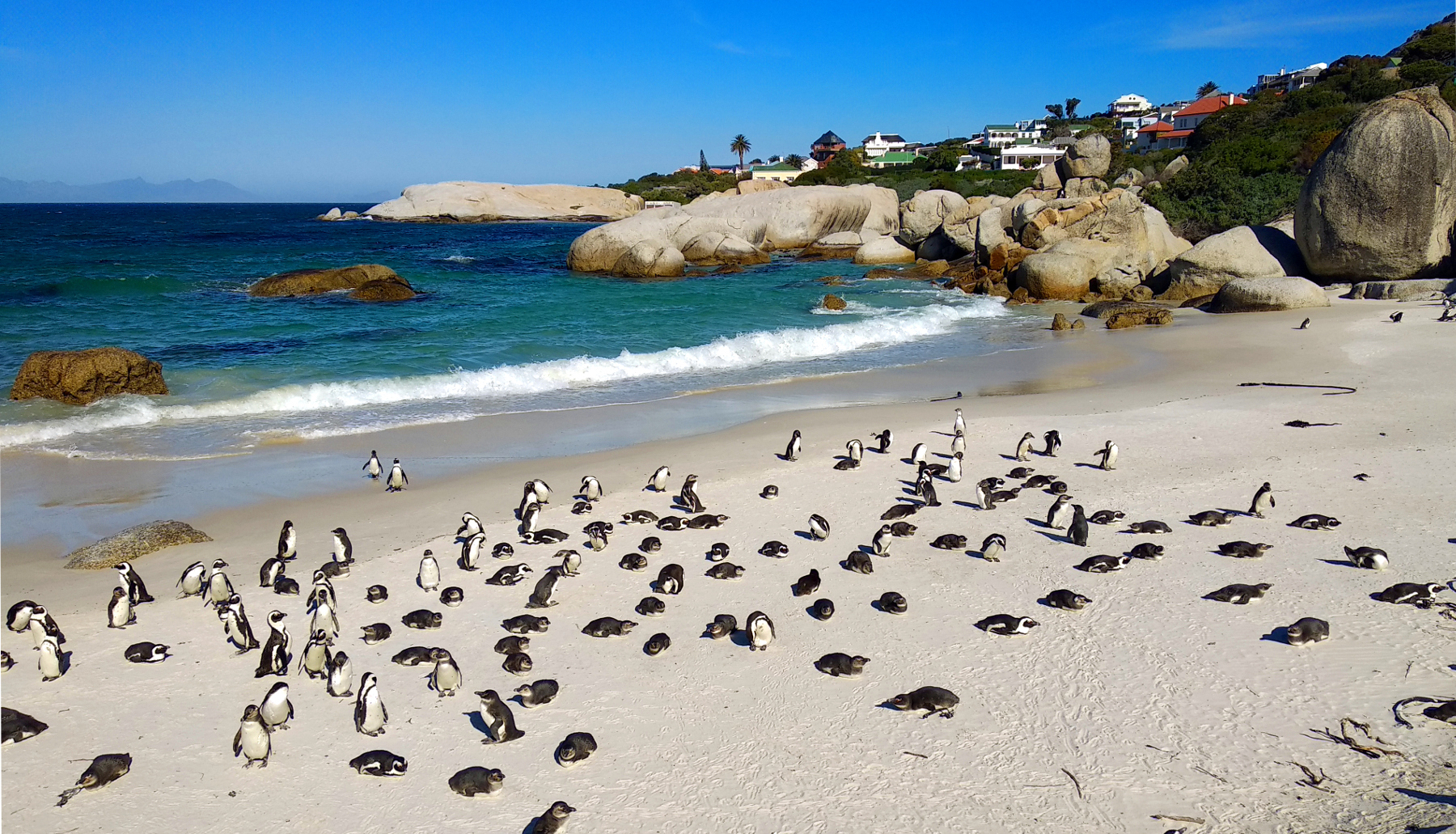 Pinguine am Boulders Beach