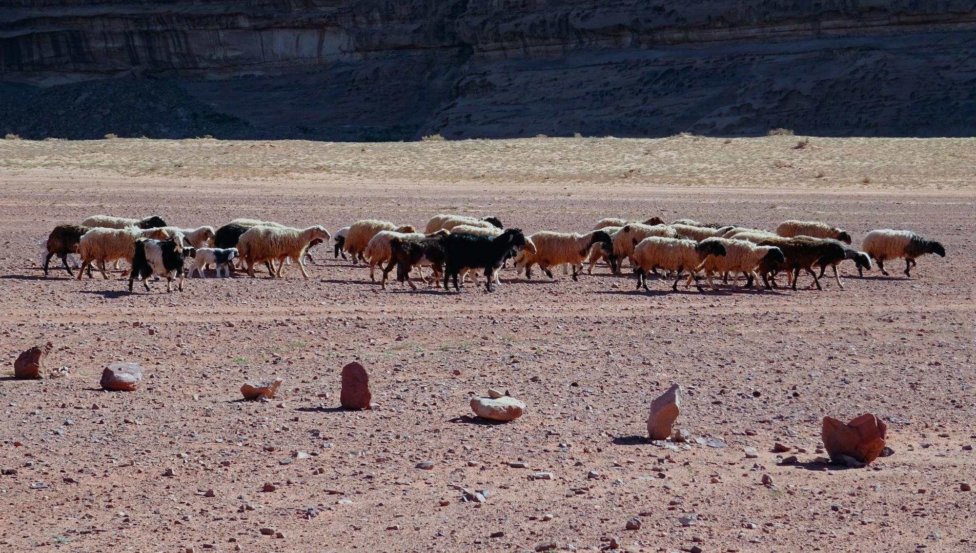 Schafe im Wadi Rum