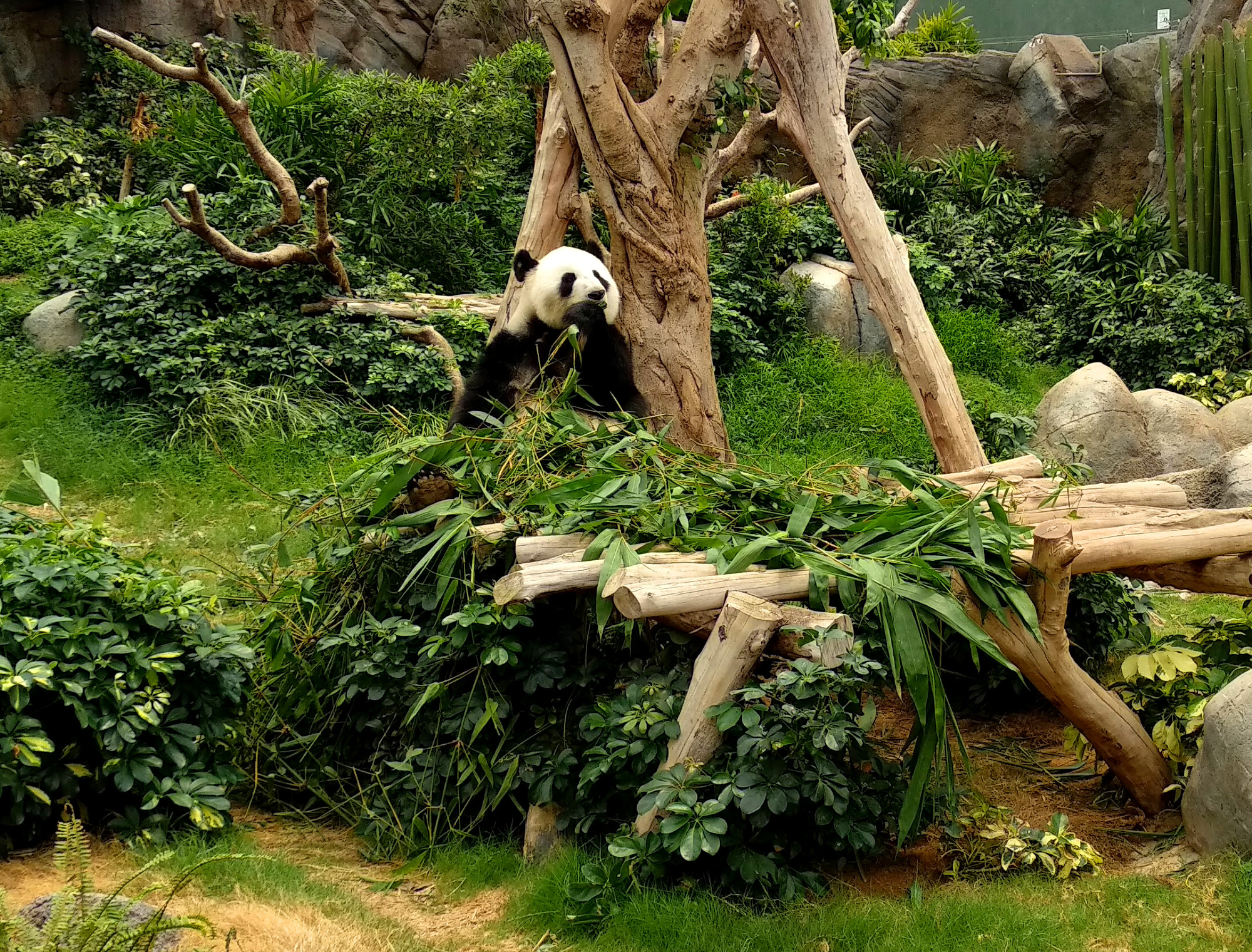 Panda im Ocean Park