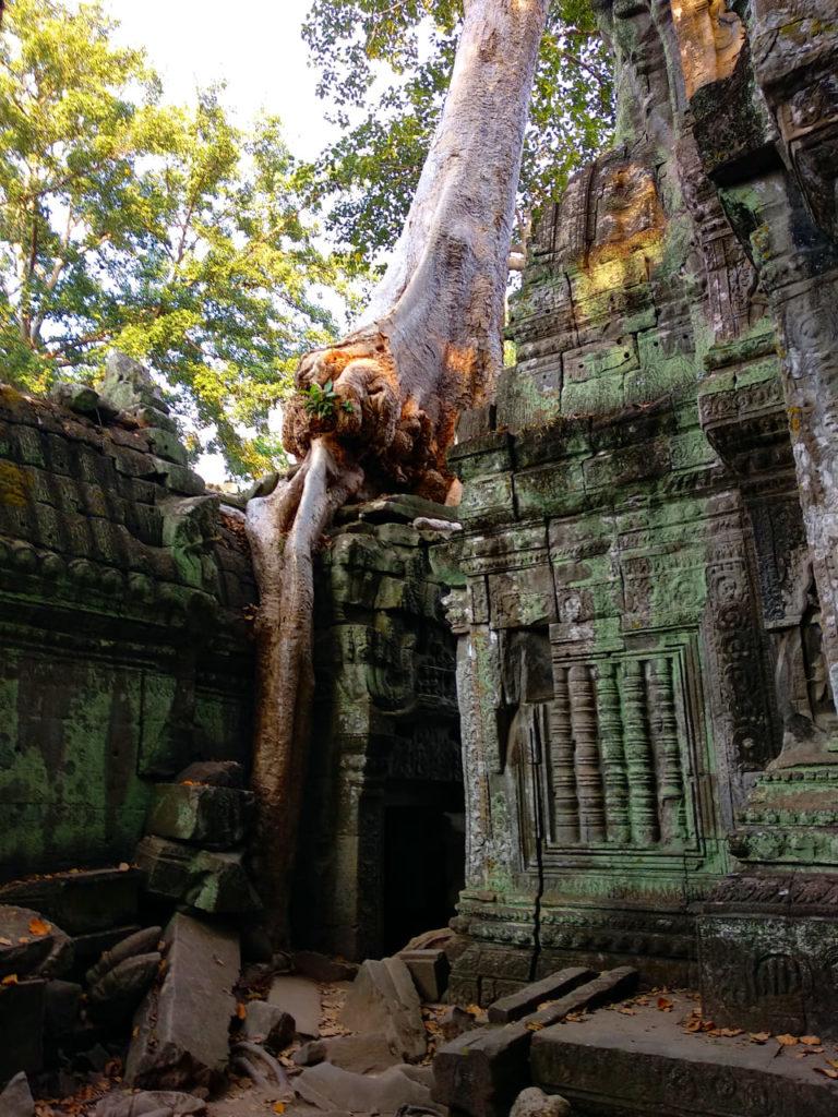 Wildwachsender Baum in Ta Prohm