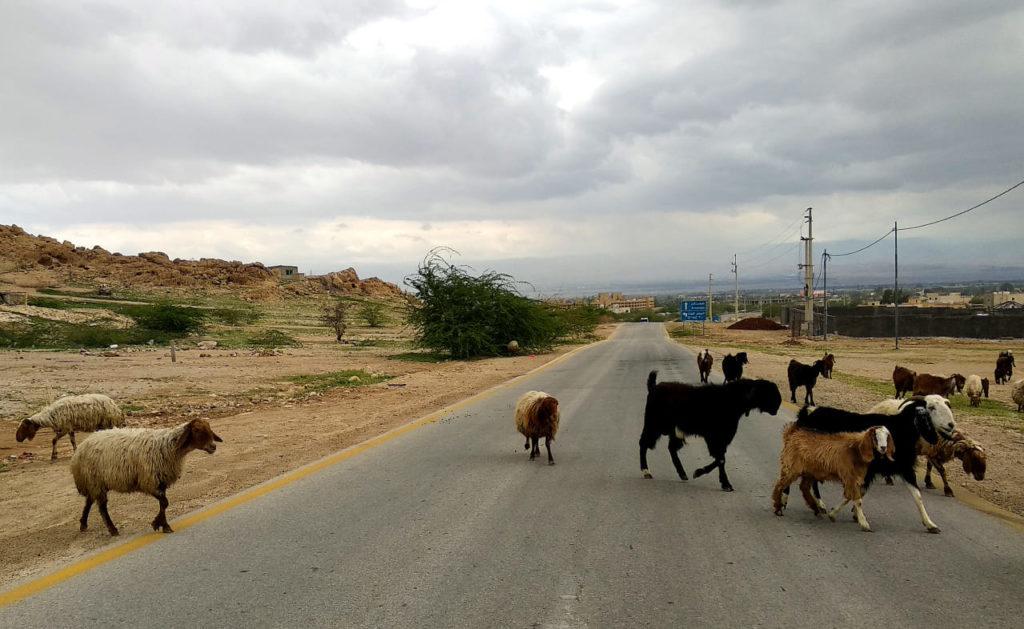 Sheep crossing a street in Jordan